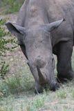 Het weiden van rinoceros Stock Fotografie