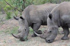 Het weiden van rinoceros Royalty-vrije Stock Afbeeldingen