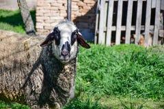 Het weiden van schapen stock afbeelding