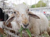 Het weiden van schapen royalty-vrije stock foto