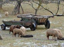 Het weiden van schapen Stock Foto's