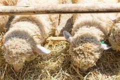 Het weiden van schapen Stock Foto
