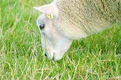 Het weiden van schapen Royalty-vrije Stock Afbeeldingen