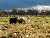Het weiden van schapen Stock Fotografie