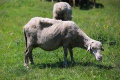 Het weiden van schapen stock afbeeldingen