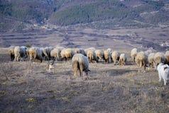 Het weiden van schapen royalty-vrije stock foto's