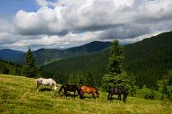Het weiden van vier bergpaarden Royalty-vrije Stock Afbeeldingen