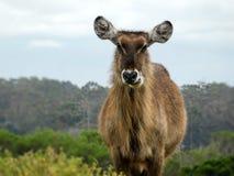 Het weiden van Waterbuck royalty-vrije stock fotografie