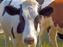 Het weiden van zwart-witte koe onderzoekt de camera Royalty-vrije Stock Foto's