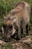 Het weiden wrattenzwijn stock afbeelding