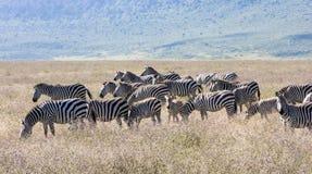 Het weiden Zebras royalty-vrije stock fotografie