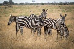 Het weiden zebras in struik in Tsavo-het Westenreserve Royalty-vrije Stock Afbeelding