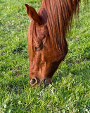 Het weidende gras van het paard Stock Foto's