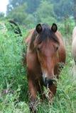 Het weidende paard van de Baai stock afbeeldingen