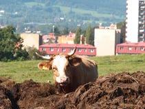 Het weiland van de koe Stock Afbeelding