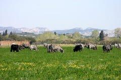 Het weiland van de koe Stock Foto's