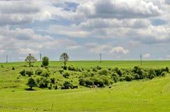 Het weiland van de koekudde in de lentetijd bij weide, Zavet-stad Stock Fotografie