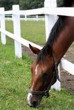 Het weiland van het paard Stock Afbeeldingen