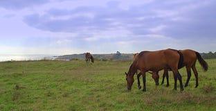 Het weiland van kustpaarden royalty-vrije stock afbeeldingen