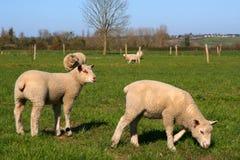 Het weiland van Sheeps royalty-vrije stock afbeeldingen