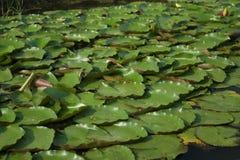 Het weinig lotusbloemverlof Stock Afbeelding