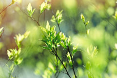 Het wekken van aard, jonge de lentebladeren in bos stock fotografie