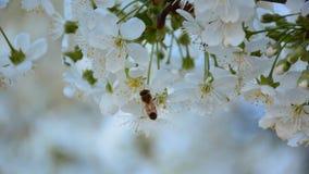 Het werk bij op de tot bloei komende kersenboom in de fruittuin stock video
