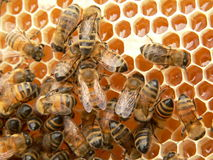 Het werk bijen stock afbeeldingen