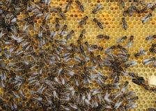 Het werk bijen Royalty-vrije Stock Foto
