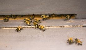 Het werk bijen dicht omhoog dichtbij de bijenkorf op een heldere zonnige dag stock afbeelding