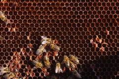 Het werk bijen in honingraten Stock Afbeelding