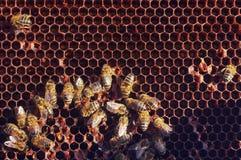 Het werk bijen in honingraten Royalty-vrije Stock Foto's