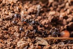 Het werk mieren stock afbeelding