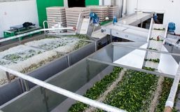 Het werk proces van de productie van komkommers bij de conservenfabriek Het wassen in water v??r behoud Beweging op de transportb royalty-vrije stock foto