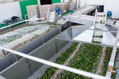 Het werk proces van de productie van komkommers bij de conservenfabriek Het wassen in water v??r behoud Beweging op de transportb royalty-vrije stock fotografie