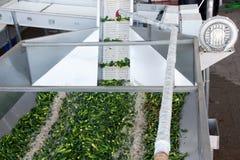 Het werk proces van de productie van komkommers bij de conservenfabriek Het wassen in water v??r behoud Beweging op de transportb royalty-vrije stock foto's