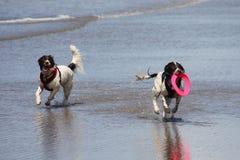 Het werk type Engelse het huisdierenjachthond die van aanzetsteenspanielen op een zandig strand lopen; Stock Foto