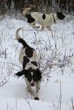 Het werk type Engelse het huisdierenjachthonden die van het aanzetsteenspaniel in de sneeuw spelen Royalty-vrije Stock Foto's