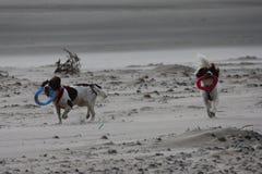 Het werk type Engelse het huisdierenjachthonden die van het aanzetsteenspaniel op een zandig strand lopen; Royalty-vrije Stock Afbeeldingen