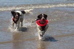 Het werk type Engelse het huisdierenjachthonden die van het aanzetsteenspaniel op een zandig strand lopen; Royalty-vrije Stock Fotografie