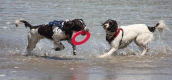 Het werk type Engelse het huisdierenjachthonden die van het aanzetsteenspaniel op een zandig strand lopen; Stock Afbeeldingen