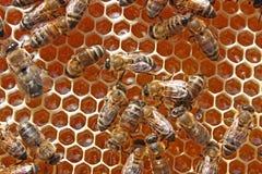 Het werk van bijen Royalty-vrije Stock Afbeelding