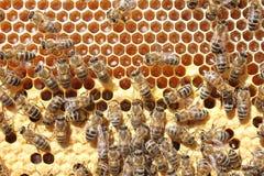 Het werk van de bijen in bijenkorf Royalty-vrije Stock Afbeeldingen