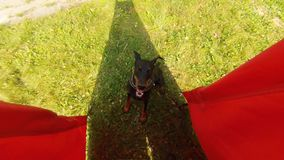 Het werk van de hondbescherming opleiding stock footage