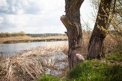 Het werk van een bever in bosa-boom wordt weg aan geknaagd Het is typisch want de bevers aan bomen vielen stock foto
