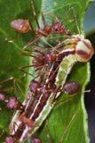 Het Werk van het Team van mieren royalty-vrije stock fotografie