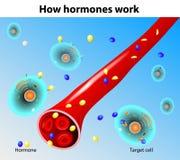 Het werk van hormonen. Vector Stock Foto