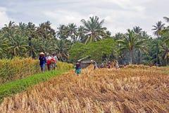 Het werken in de padievelden in Bali Indonesië Royalty-vrije Stock Foto's