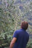 Het werken in een aanplanting van olijfbomen royalty-vrije stock afbeelding