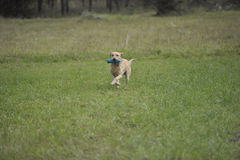 Het werken labrador retriever Royalty-vrije Stock Foto